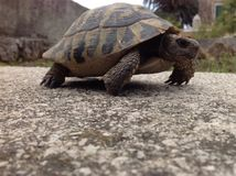 Turtle. Walking around the castle at old town of Dubrovnik Royalty Free Stock Images