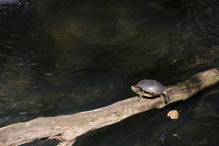 Turtle walking on branch Royalty Free Stock Photos