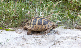 Turtle walking on concrete Royalty Free Stock Photography