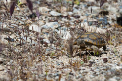 Turtle walking through the desert across country. Over hill and dale going baby turtle is watching betwenn stones and grass in desert Stock Image