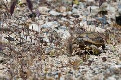 Turtle walking through the desert across country Stock Image