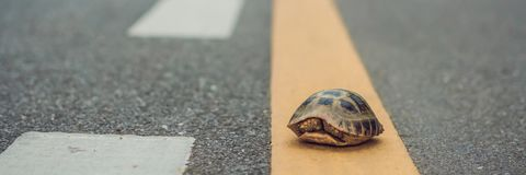 Turtle Walking Down A Track For Running In A Concept Of Racing Or Getting To A Goal No Matter How Long It Takes BANNER, Long Forma Stock Photography
