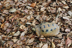 Turtle walking on dry leaves Royalty Free Stock Photo