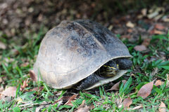 Turtle walking in garden Stock Photography