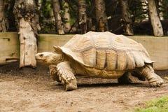 Turtle walking on the grass Stock Photos