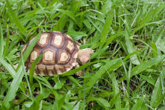 Turtle walking on the grass. Royalty Free Stock Photo