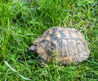 Turtle walking on grass. Geochelone sulcata. Turtle walking on grass in springtime. Geochelone sulcata Royalty Free Stock Photography