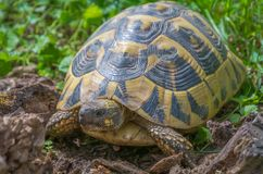 Turtle walking on grass. Geochelone sulcata. Turtle walking on grass in springtime. Close - up. Geochelone sulcata Stock Image