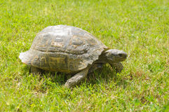 A turtle walking on grass. A turtle walking on the green grass Royalty Free Stock Photo