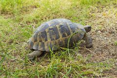 TURTLE. Walking on grass outdoors Stock Images