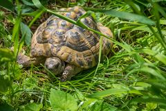 Turtle walking on grass. Geochelone sulcata. Turtle walking on grass in springtime. Geochelone sulcata. Close - up Royalty Free Stock Photos