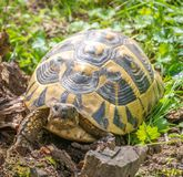 Turtle walking on grass. Geochelone sulcata. Turtle walking on grass in springtime. Geochelone sulcata Stock Photography