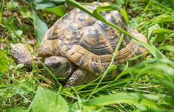 Turtle walking on grass. Geochelone sulcata. Turtle walking on grass in springtime. Geochelone sulcata Royalty Free Stock Image