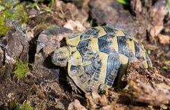 Turtle walking on grass. Geochelone sulcata. Turtle walking on grass in springtime. Geochelone sulcata Stock Photo