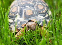 Turtle walking in the green grass Royalty Free Stock Image
