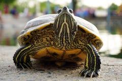 Turtle walking on the ground Stock Photos