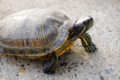 Turtle walking on the ground Royalty Free Stock Images