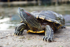 Turtle walking on the ground Stock Photography