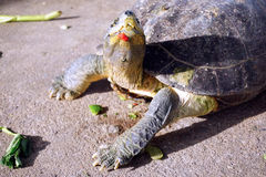 Turtle walking on the ground Royalty Free Stock Photography