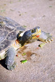 Turtle walking on the ground Stock Image