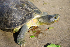 Turtle walking on the ground Royalty Free Stock Photo