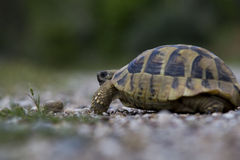 Turtle walking Royalty Free Stock Photos
