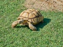 Turtle walking meadow Royalty Free Stock Photo