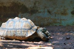 Turtle walking on mud soil with sun light and shady royalty free stock image