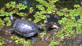 Turtle walking out of pond water stock footage