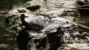 Turtle walking on the rock stock footage