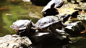 Turtle walking on the rock stock video footage