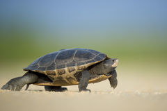 Turtle Walking on Sand Stock Photos