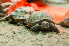 Turtle walking on sand Royalty Free Stock Photos