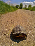 Turtle. Walking slow in a sunny day on the road Royalty Free Stock Image