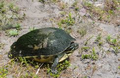 Turtle walking to the water. A reptile turtle walking to the refuge of the water stock image