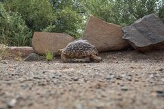 Turtle walking in the wild in South Africa stock images