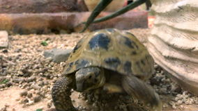 Turtle walks on the gorund. Turtle walks on the ground close up stock video footage