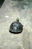 Turtle on the Walkway Stock Image
