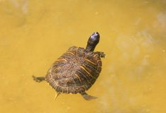 Turtle in the water. A turtle in the water Stock Photography