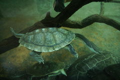Turtle in water. A turtle swimming in the water at the zoo Royalty Free Stock Images