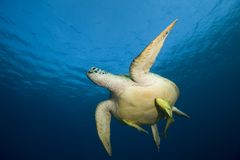Turtle in water Royalty Free Stock Photo