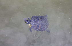 Turtle in the water Stock Image
