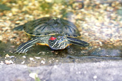 Turtle In Water Royalty Free Stock Image