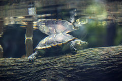 Turtle in the water Stock Photo