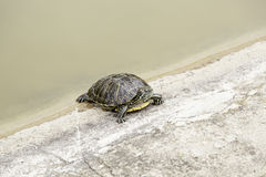 Turtle in water Stock Image