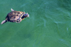 Turtle in water Royalty Free Stock Photos