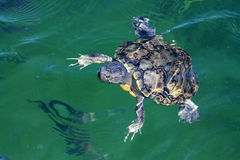 Turtle in water Stock Images