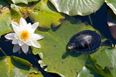 Turtle and a water lily Royalty Free Stock Photo