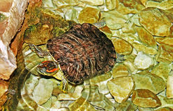 Turtle in the water. In the move Royalty Free Stock Image