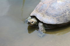 Turtle on water Royalty Free Stock Photography